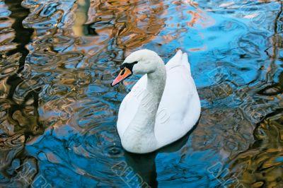 Adult white swan