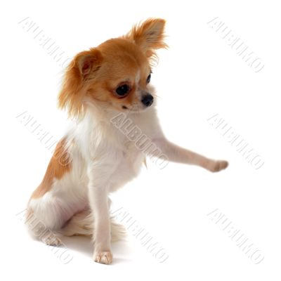 puppy chihuahua and paw