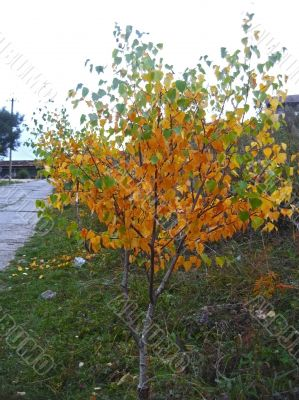 Autumn birch with green and yellow leaves