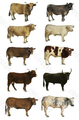cows, oxen and bulls