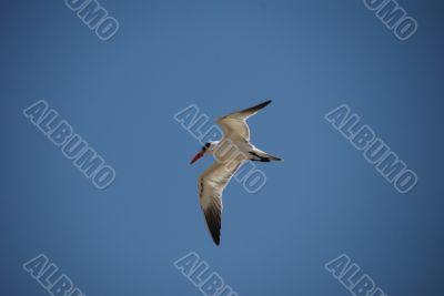 gull in flight over
