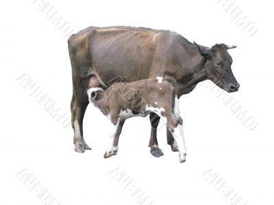 grey cow with calf