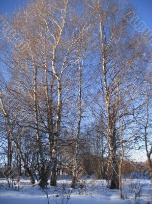 White birches in the row and morning winter wood