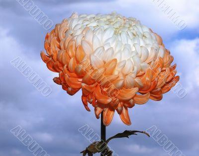 white-pink chrysanthemum