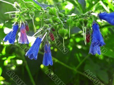 Blue flowers blooming in the meadow in summertime