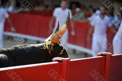 horns of bull