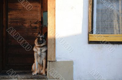 German Shepherd at the Door