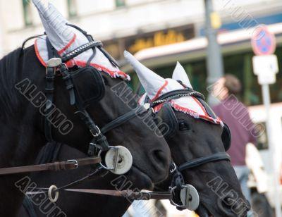 A pair of black horses 2