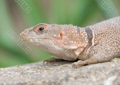 Little desert lizard in Vienna Zoo