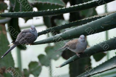 A pair of Desert doves