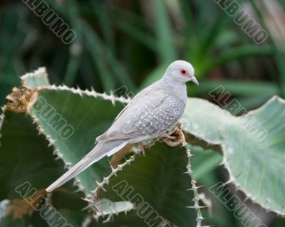 Desert dove in Vienna Zoo