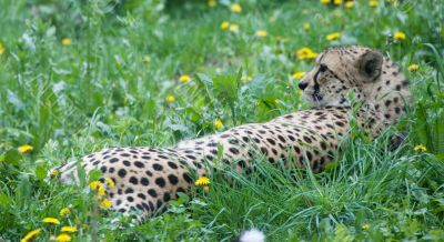Resting cheetah - vienna zoo