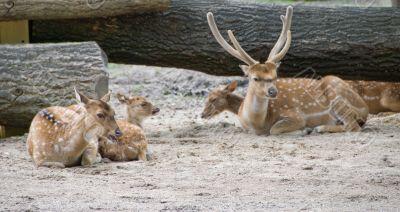 Axis deers
