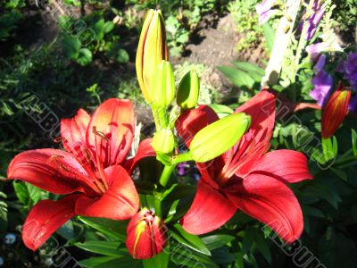 beautiful red lilies