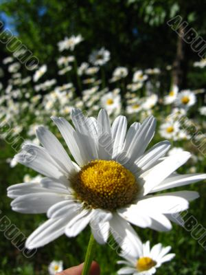 a beautiful flower of chamomile