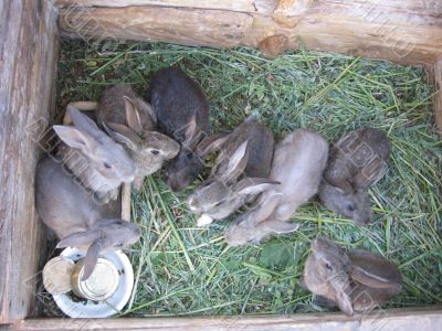 brood of the rabbits