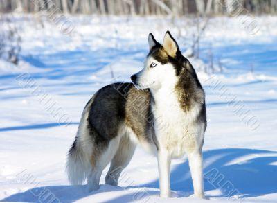Chukchi husky breed dog on winter background