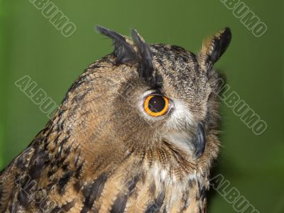 Owl eyes and beak
