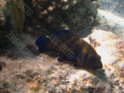 blue dot fish