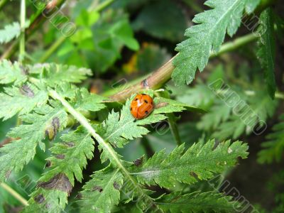 a small nice ladybird