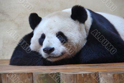 captive giant panda
