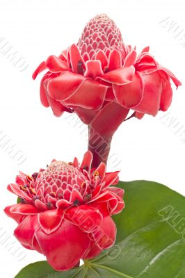 Tropical flower torch ginger, isolated