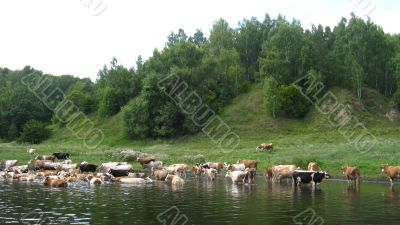 Landscape with the river and watering of cows