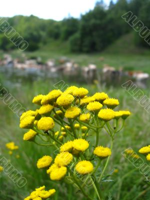 yellow flower on the background of river and cows