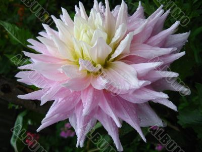 a beautiful flower of Dahlia