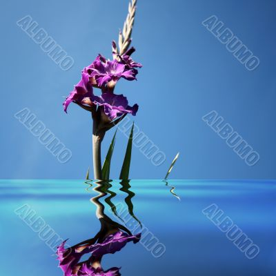 gladiolus in water