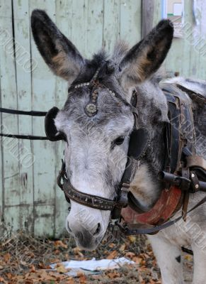 Portrait of Gray Donkey
