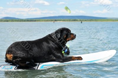 rottweiler and windsurf