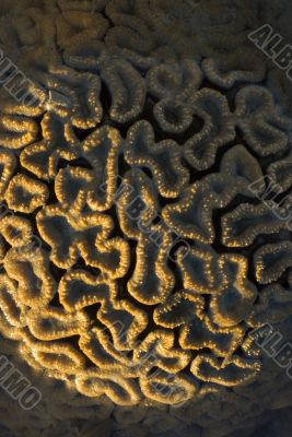 Stony Coral Scleractinia