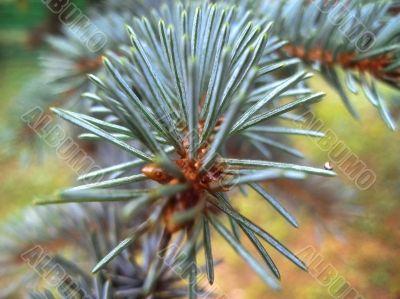 Fir branch green and blue. Summertime forest