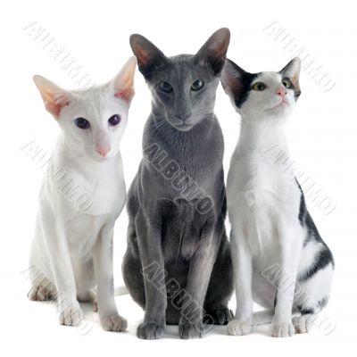 three oriental cats