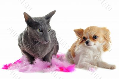 oriental cat and chihuahua