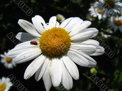 the ladybirds on the chamomile