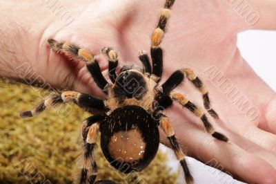 Mexican Redknee