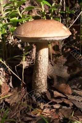 Edible mushroom in wood