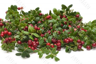 Branches of the cowberry insulated
