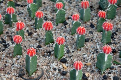 Cactuses with red head and needle