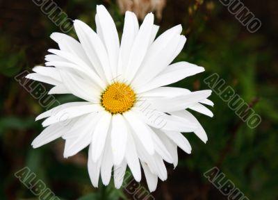 Blanching daisywheel with yellow medium