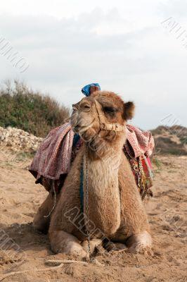 Camel sits