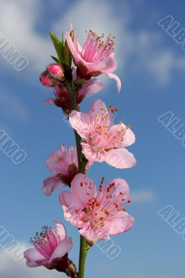 branch of blossoming peach