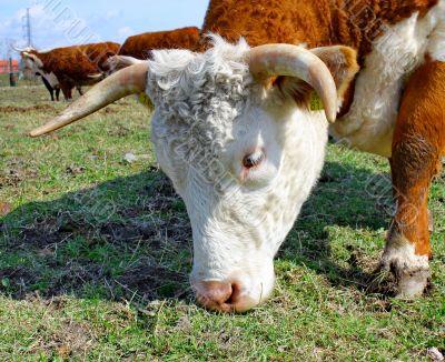 Brown white cows on a farmland
