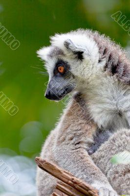 Lemur of ring-shaped tail ,Lemur catta