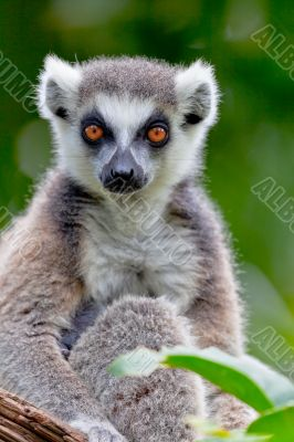 Lemur of ring-shaped tail ,Lemur catta