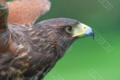 Harris`s falcon (Parabuteo unicintus)