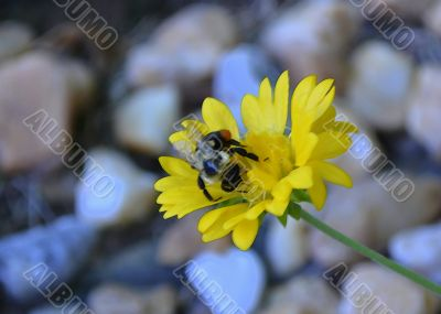 Bee On Yellow Flower ~ Watercolor Effect