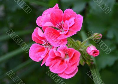 Bright Pink Geranium ~ Watercolor Effect